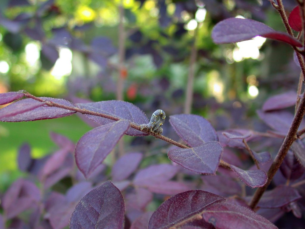 Gray and yellow caterpillar inching along branch with purple leaves